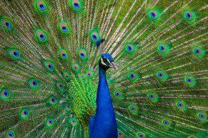 professional peacocks