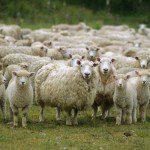 nz sheep